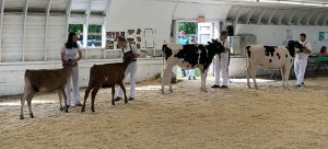 students show dairy cows in fair arena